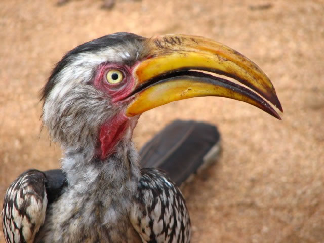 closeup of a Hornbill in the Kruger National Park