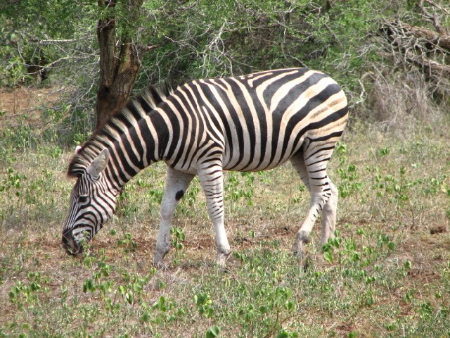 Zebra grazing in the Kruger National Park