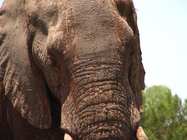 closeup of an elephant in the Kruger National Park