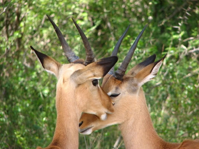 Two Impalas 'in love'