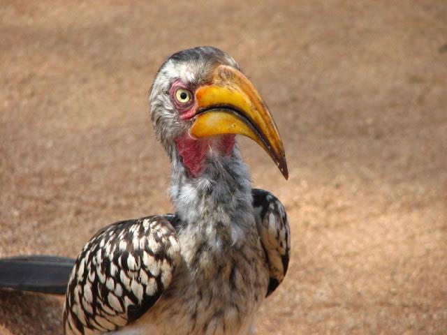 Hornbill in the Kruger National Park