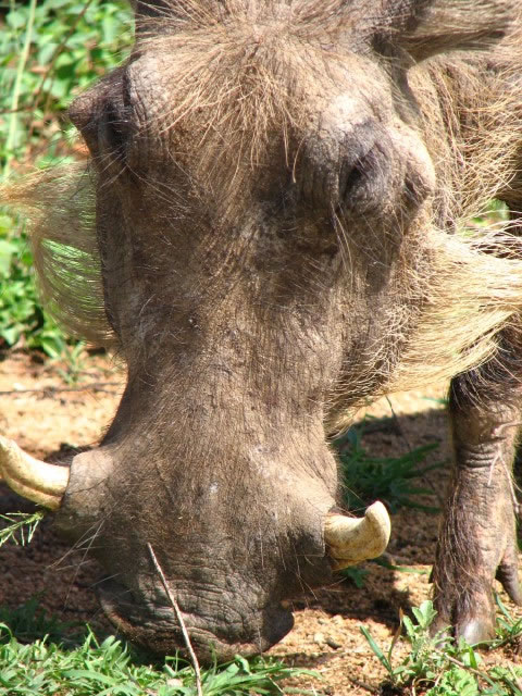 closeup of a Warthog in the Kruger National Park