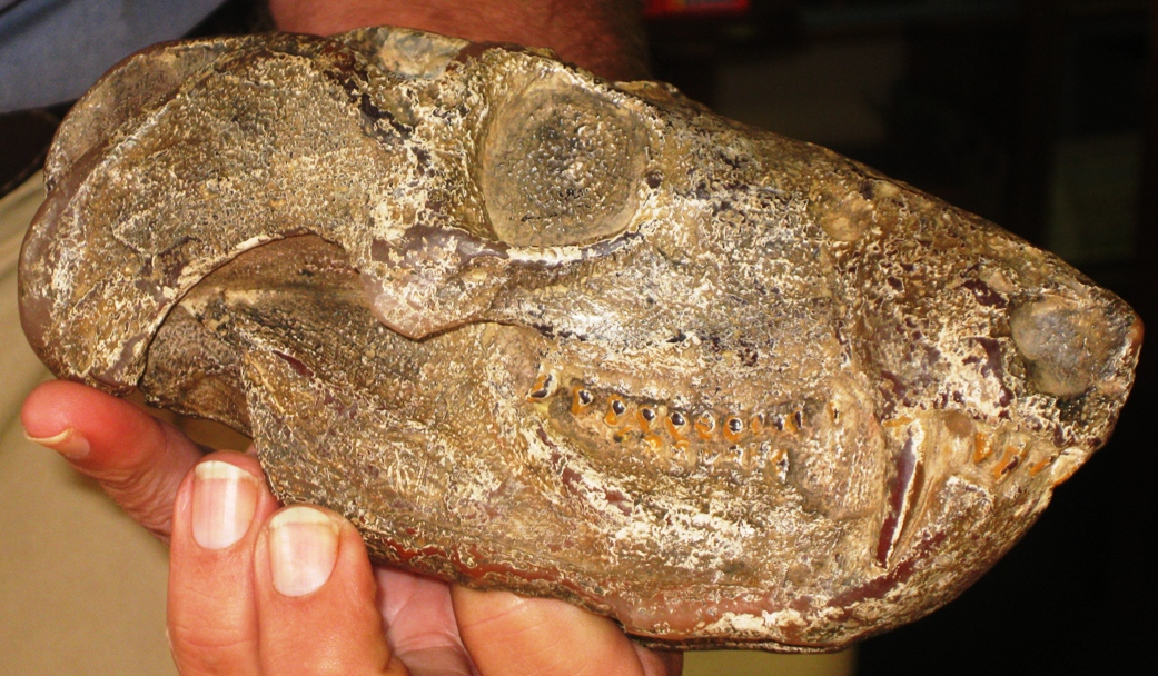 fossilised skull in Clarens