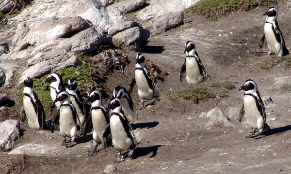 penguin colony at Bettys Bay