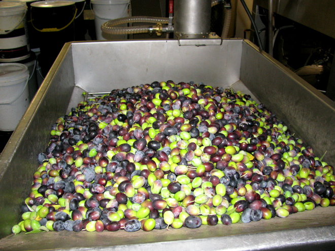 olives about to be pressed at Marbrin Farm
