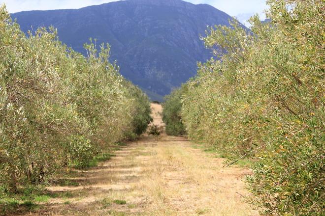 Marbrin farm's olive trees, Robertson