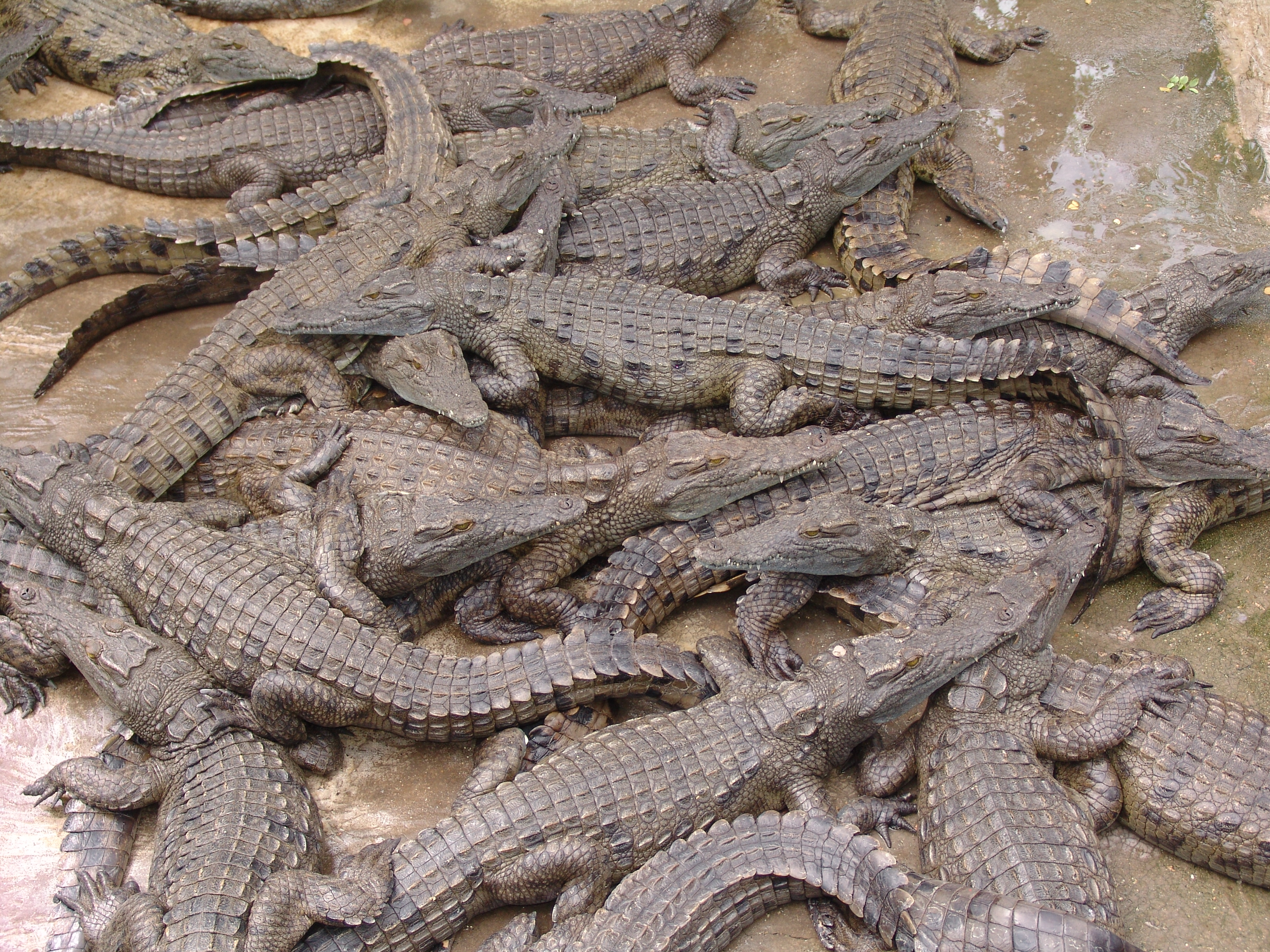 alligators and crocodiles Many people struggle to tell these two reptiles apart, but it isn't that difficult when you know what to look for what is the difference between alligators and crocodiles.