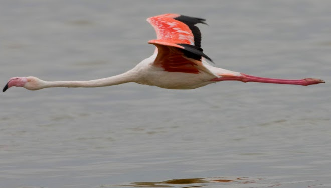 Greater Flamingo in Walvis Bay