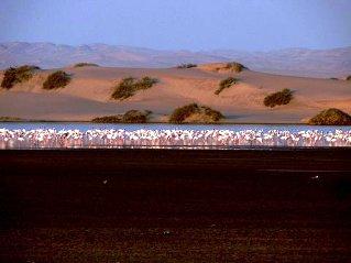 Walvisbay flamingos
