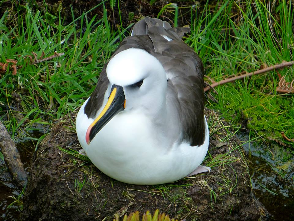 Atlantic Yellow-Nosed Albatross