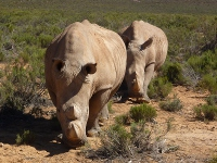 Rhinos at Aquila Private Game Reserve near Cape Town